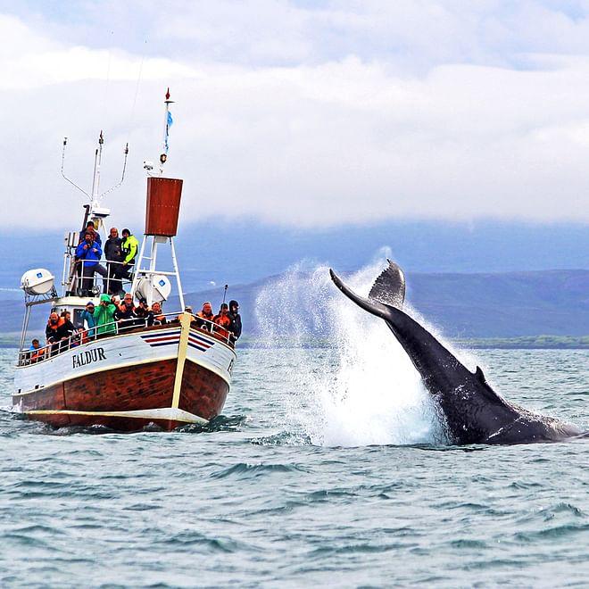 Whale Watching - From Húsavík