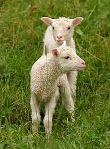 Metsän kutsu Miniloma lammaspaimenena Sumiaisissa Sumiainen