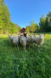 Metsän kutsu Viikonloppuloma lammaspaimenena  Sumiainen
