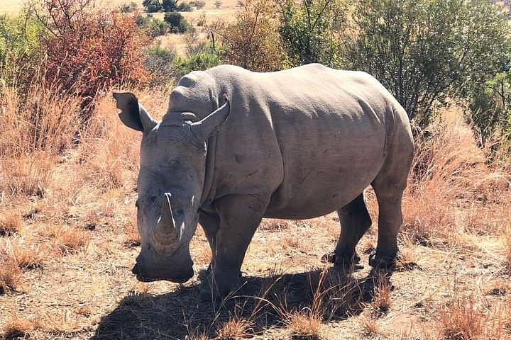 White Rhino up close