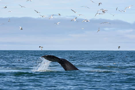 Whale diving into the water