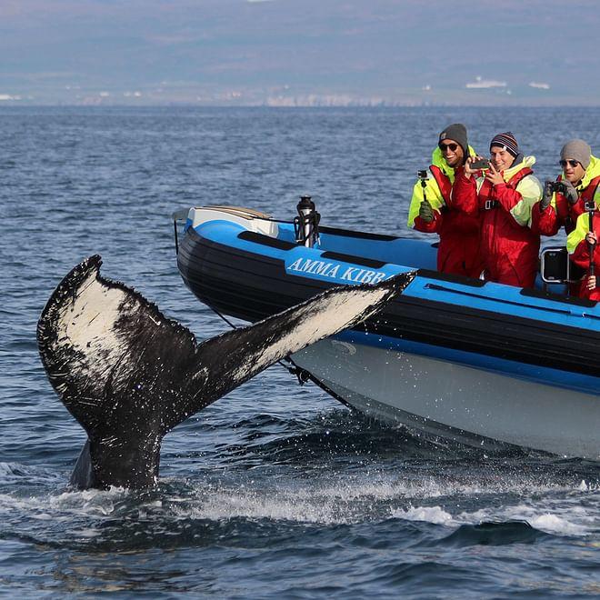 Big Whale Safari & Puffins - From Húsavík