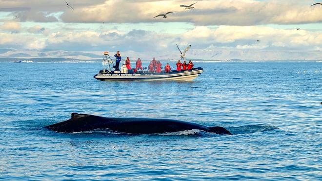 Reykjavík Premium Whale & Puffin Watching