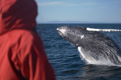 Person seeing humpback whale jump out of the water