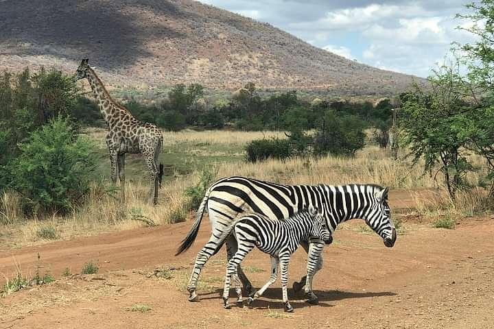 Zebra in the road on safari