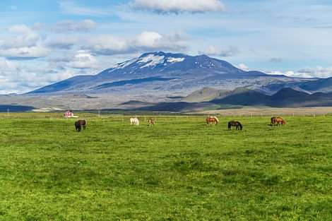Icelandic horses with mountain at the distance on south shore of Iceland