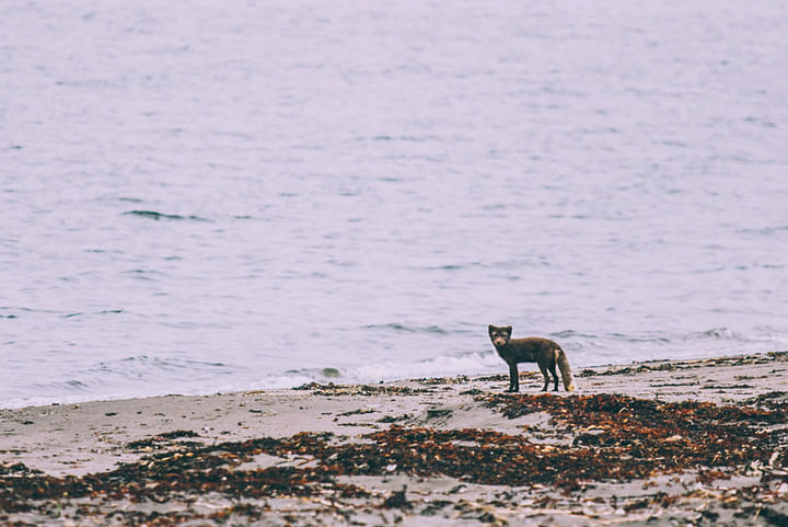 Arctic Fox at Hornvík