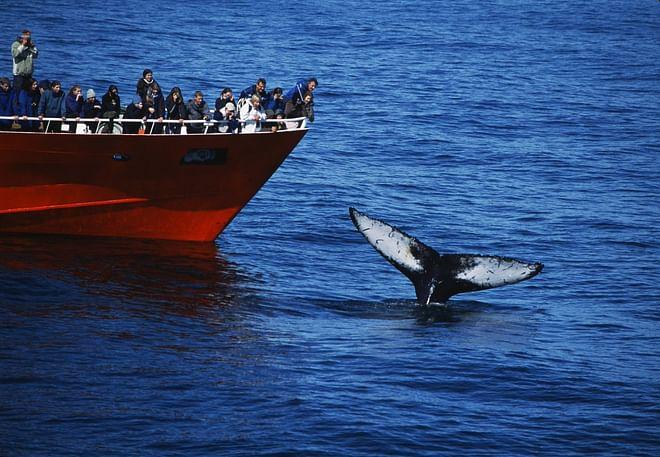 Reykjavík Classic Whale Watching - From Reykjavík